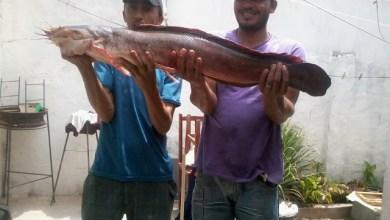 Foto de MILAGRES: Peixe com um metro de comprimento é pescado na Barragem do Rosário