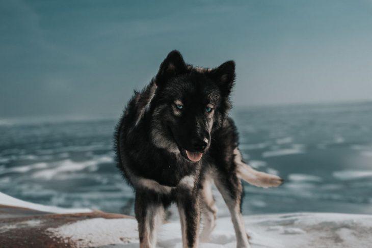 Perrito huskie posando para una foto frente al mar