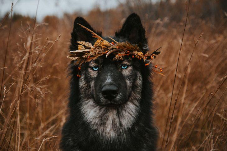 Perrito huskie con una corona de espigas en la frente posando para una fotografía