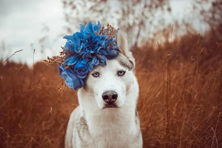 Perrito huskie con una corona de flores azules en la cabeza