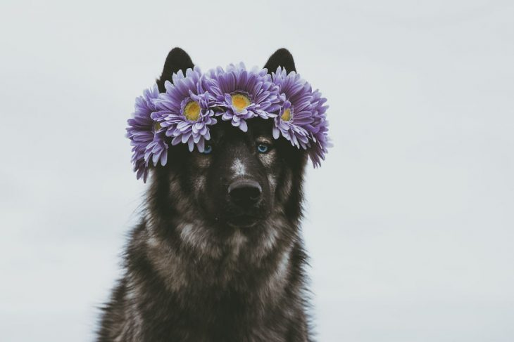 Perrito huskie con una corona de flores en la cabeza