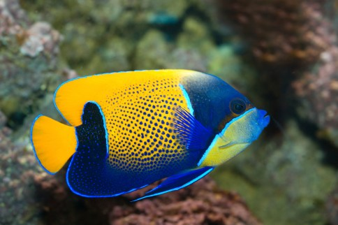 Magestic Angelfish