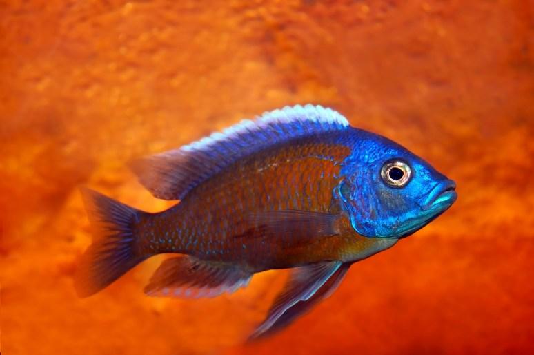 Malawi Cichlid