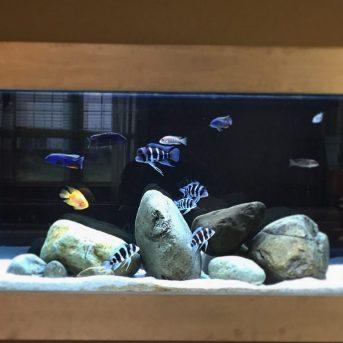 Freshwater African Cichlid Aquarium
