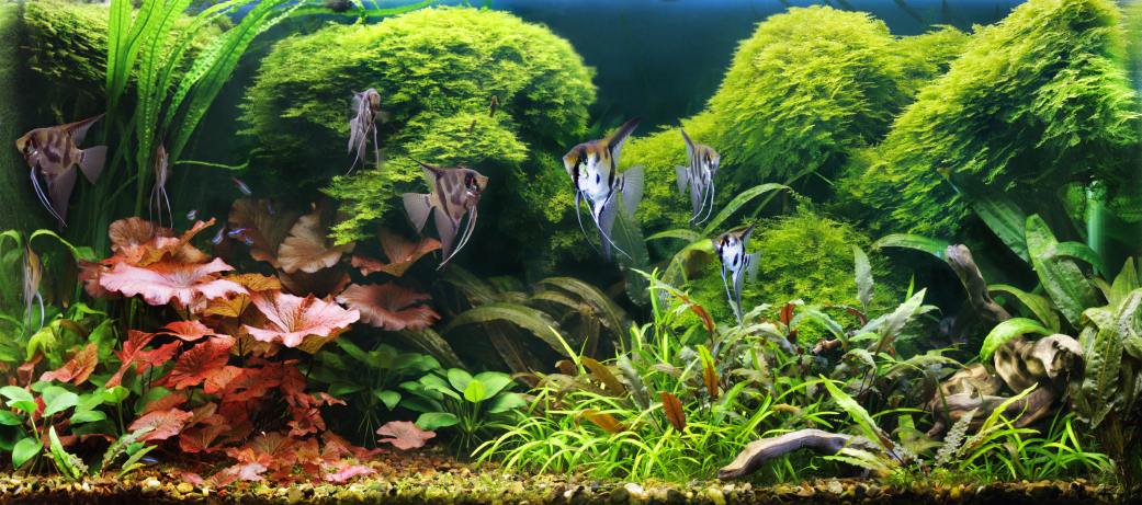 Freshwater Live Planted Angelfish Aquarium