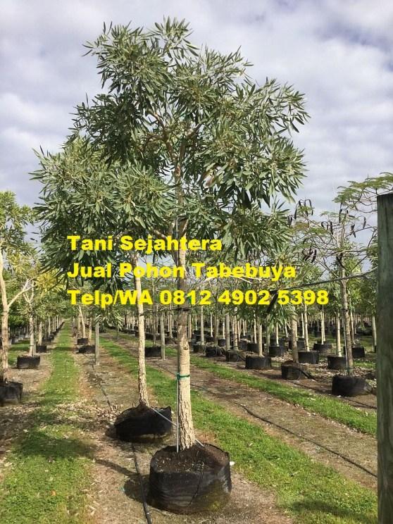 jual pohon tabebuya Mesuji