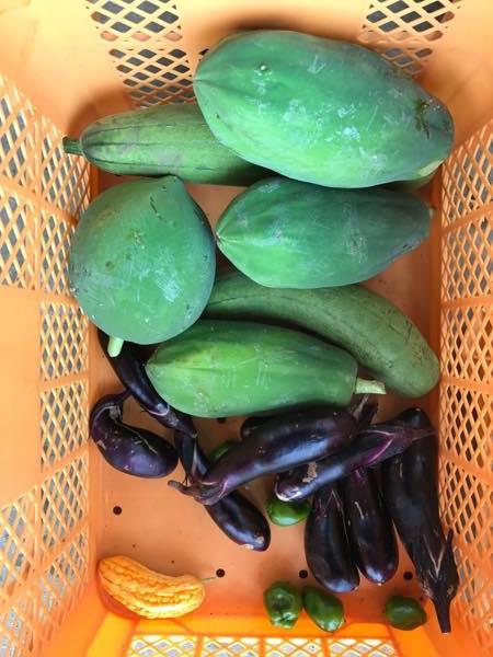 収穫 沖縄週末農業