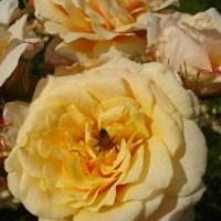 Kako uspešno gojimo vrtnice