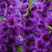 Gladiole - lep okras vrta in aranžmajev