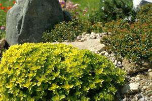 Origano - okusni vrt