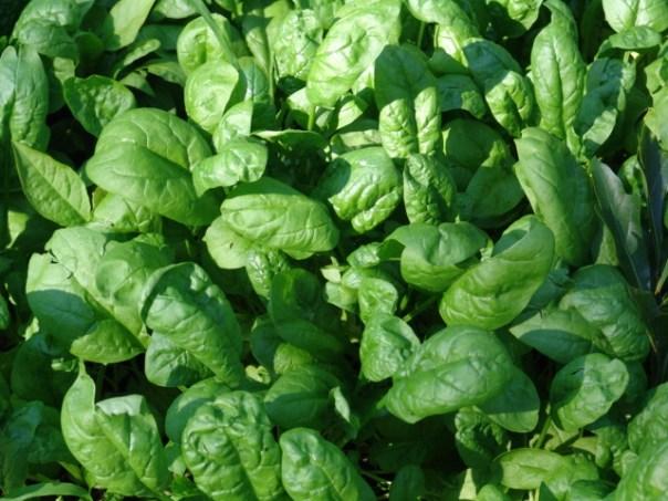 Špinača – zeleni listi polni okusa in vitaminov
