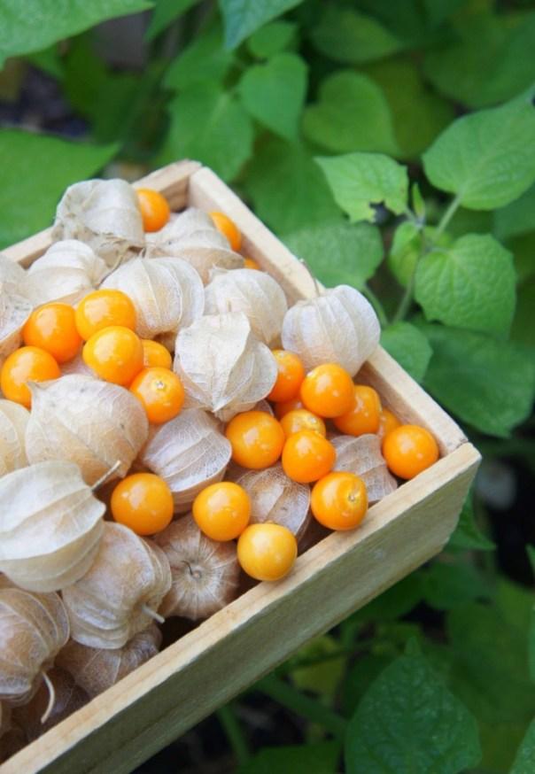 Inkovske jagode – superhrana iz domačega vrta