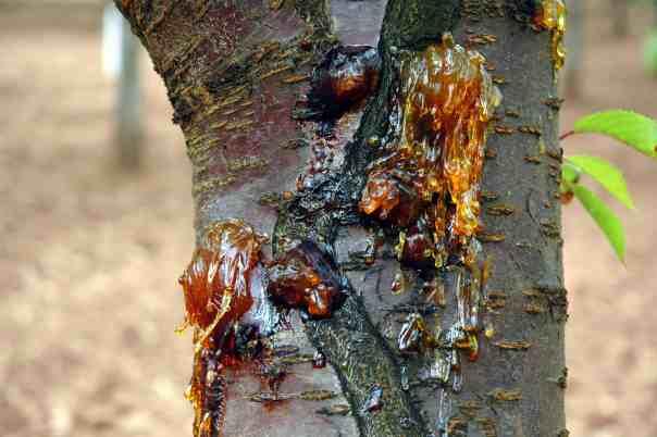 Bakterijski rak koščičastega sadja