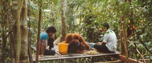 Réserve d'orang outan