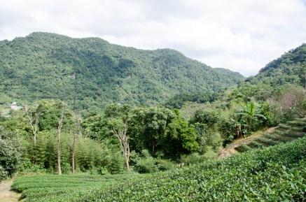 Plantations de thé, accessible en téléphérique depuis le zoo