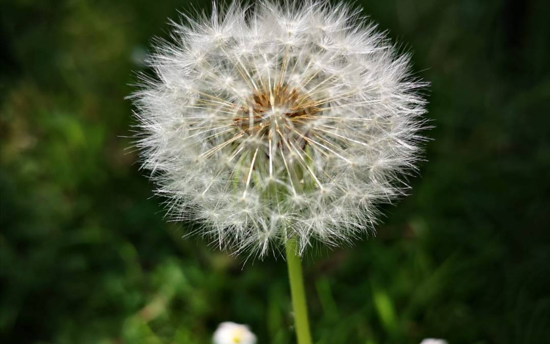 A Letter from a Dandelion