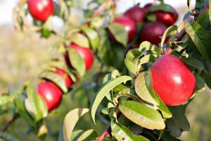 Nectarines_early_morning-300x200