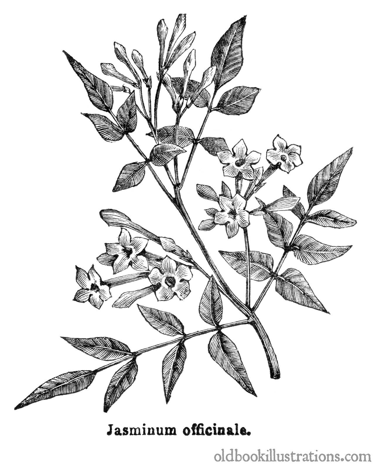 Common Jasmine Old Book Illustrations