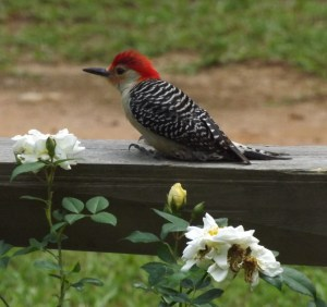 Red Bellied Wdpkr on Fence