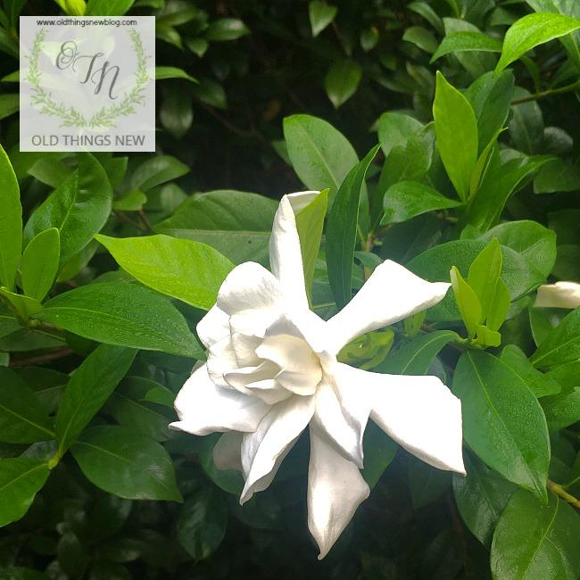 Gardenia Rebloom