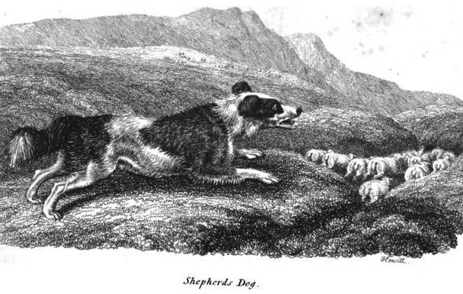 Alaska's Premiere English Shepherd Breeder