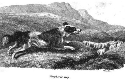 English Shepherds Dog - 1809