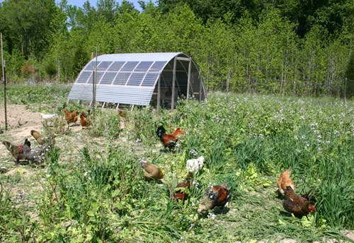 Foraging Chickens