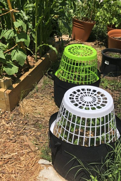 Clothes baskets covering strawberry plants in grow bags