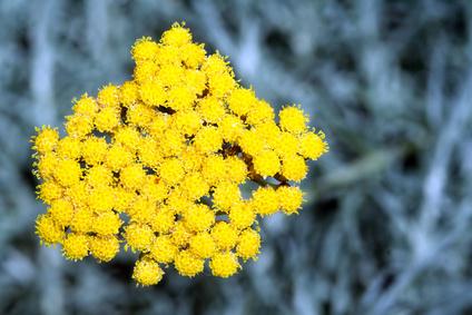 Helichrysum Italicum ou Immortelle d'Italie
