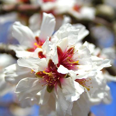 I-fiori-del-mandorlo-Puglia-Ostuni