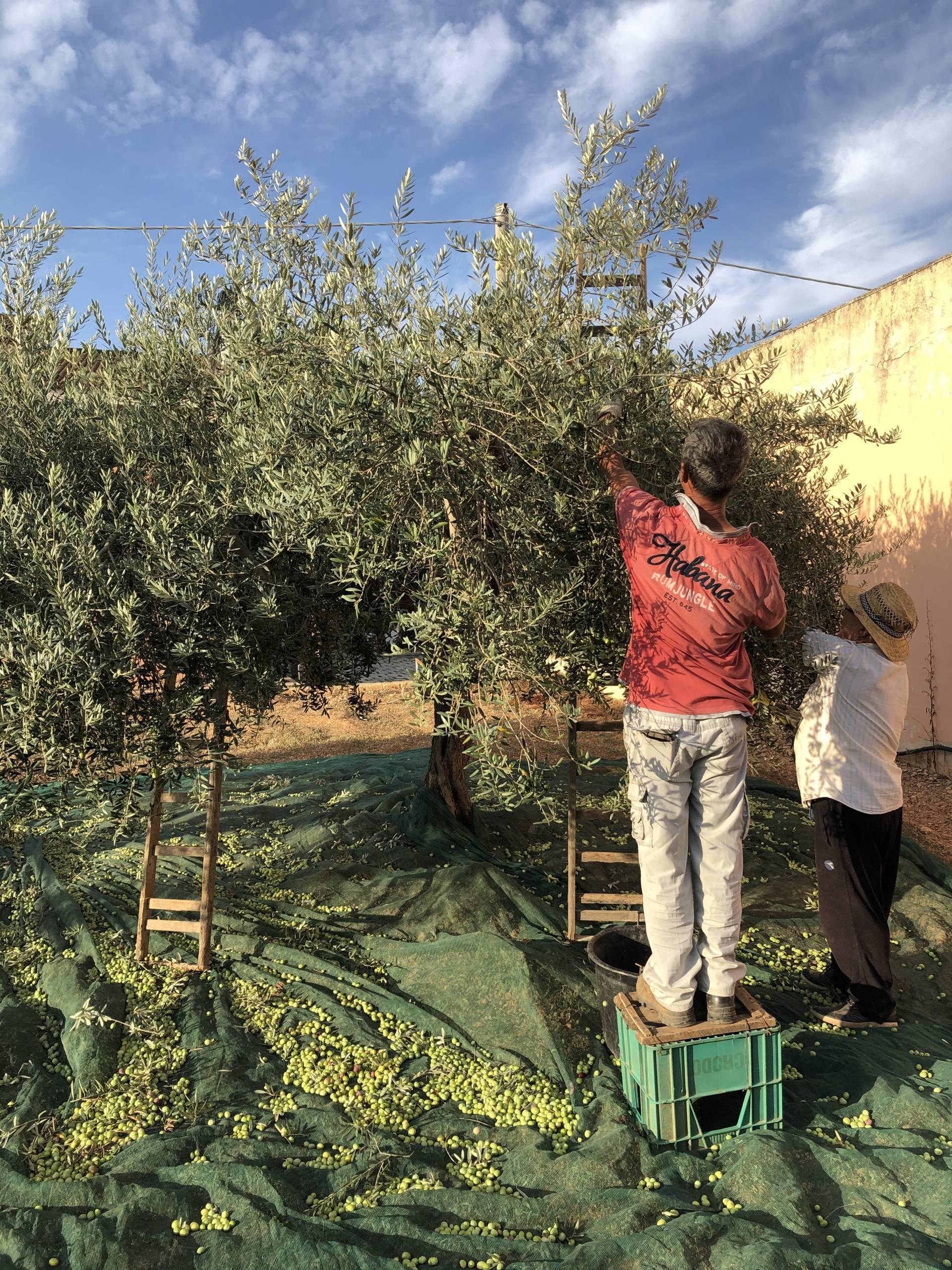 Come e quando avviene la raccolta delle olive, le cose da sapere.