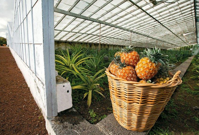 Wichtige Einnahmequelle: Ananas-Anbau auf den Azoren