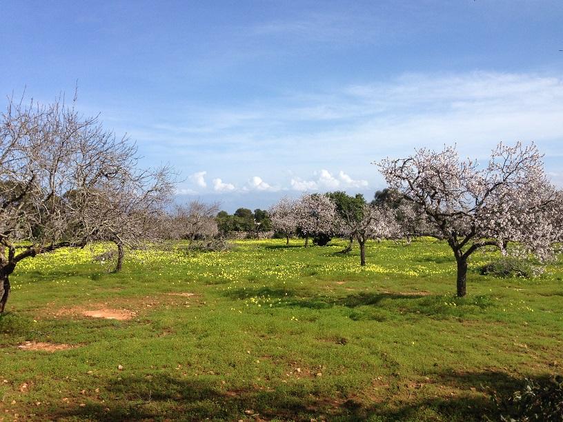 Mandelblüten_Hain_Mallorca
