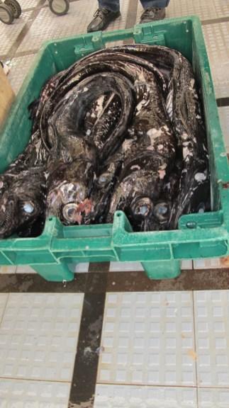 filetierte Degenfische