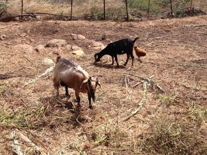 Ziegen auf La Gomera