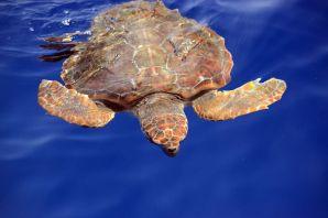 Meeresschildkröte vor La Gomera