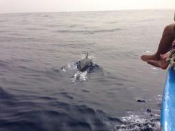 Delfin neben dem Whale Watching Boot vor La Gomera