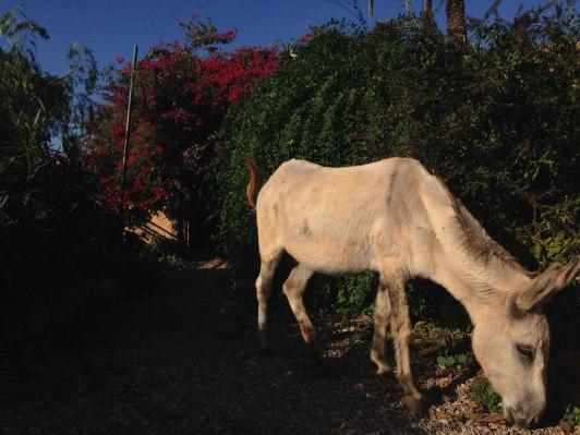 grasender Esel