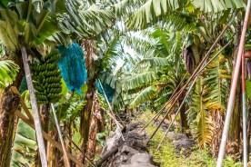 Stauden in Bananenplantage Madeira