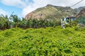 Bananenplantage Madeira