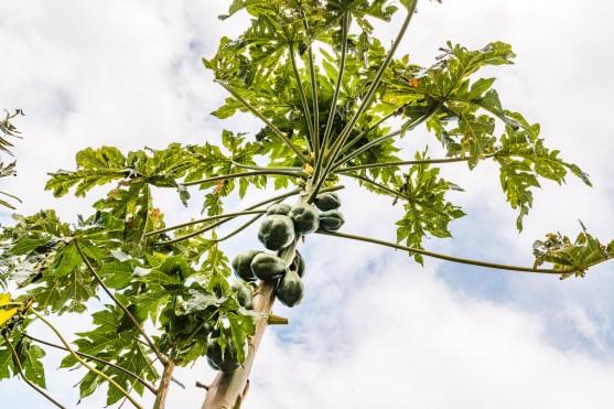 Papaya Baum Madeira