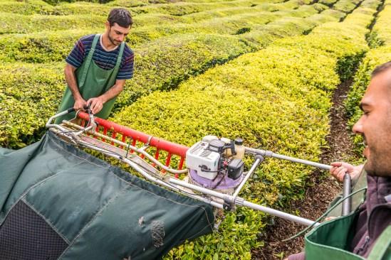 Erntegerät Teeplantage Arbeiter Azoren