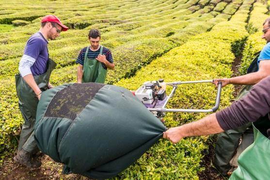 Arbeiter ernten Teepflanzen Cha Gorreana Azoren Sao Miguel