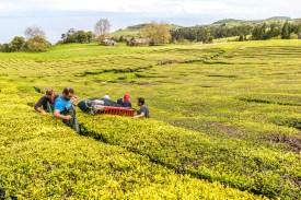 Arbeiter ernten Tee in Teeplantage Azoren Sao Miguel