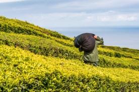 Arbeiter mit Tee in Plantage Azoren