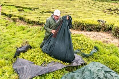 Arbeiter mit geerntetem Tee in Teeplantage Azoren Sao Miguel