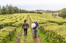 Arbeiter gehen durch Teeplantage Azoren Sao Miguel