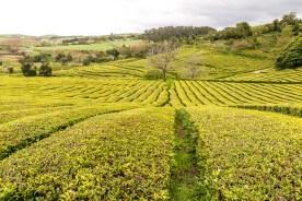 Cha Gorreana Teeplantage auf den Azoren