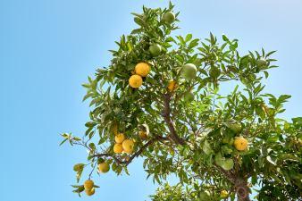Zitronenbaum Algarve