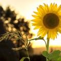 Sonnenblume Sonnenschein Nachhaltig Reisen